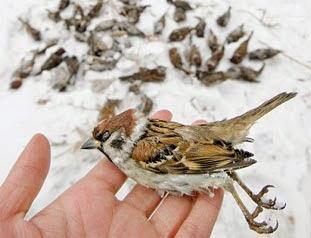 地面に散らばった米を食べた野生スズメが大量死 (ネット写真).jpg